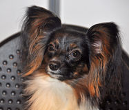 Chien de Papillon photo libre de droits