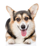 Chien de Pembroke Welsh Corgi regardant l'appareil-photo D'isolement sur le blanc images libres de droits