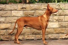 Chien de pharaon de race de chien Images libres de droits
