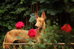 Chien de pharaon parmi les fleurs Photos stock