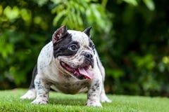 Chien de Pit Bull mignon, geste curieux sur l'herbe Image libre de droits