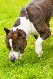 Chien de plan rapproché de terrier Photo stock