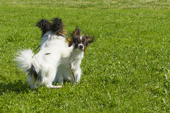 Chien de plan rapproché de terrier Image libre de droits