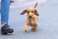 Chien de plan rapproché de terrier Image stock