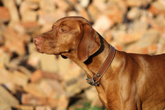 Chien de Pointin photo stock