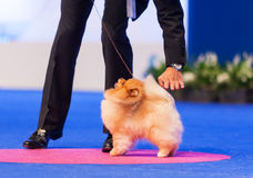 Chien de Pomeranian Images stock