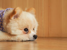 Chien de Pomeranian attendant son propriétaire Photo stock