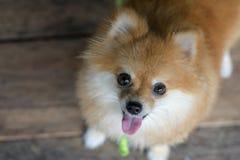 Chien de Pomeranian avec le fond en bois Photos stock