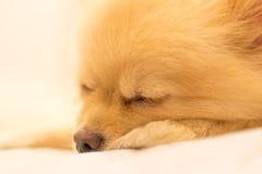 Chien de Pomeranian ayant le rêve doux, foyer sur l'oeil, avec l'espace de copie Photos stock