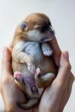 Chien de Pomeranian, chien pomeranian de portrait de plan rapproché Photographie stock libre de droits