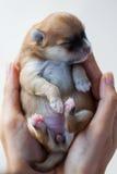 Chien de Pomeranian, chien pomeranian de portrait de plan rapproché Photo libre de droits