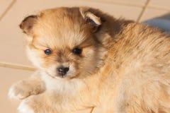 Chien de Pomeranian, chien pomeranian de portrait de plan rapproché Image stock