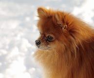 Chien de Pomeranian contre le contexte de la neige Photos libres de droits
