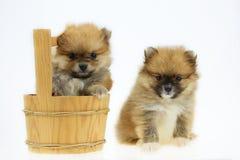 Chien de Pomeranian d'isolement hors du fond sur le fond blanc, de l'animal familier dans la ferme et du chien pomeranian dans le Photos stock