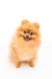 Chien de Pomeranian d'isolement sur le blanc image libre de droits