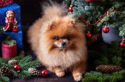 Chien de Pomeranian dans le chapeau de Noël avec des décorations de Noël sur le fond en bois foncé L'année du chien Chien de nouv Photos libres de droits