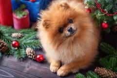 Chien de Pomeranian dans le chapeau de Noël avec des décorations de Noël sur le fond en bois foncé L'année du chien Chien de nouv Photo stock