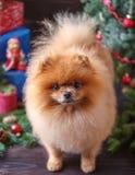 Chien de Pomeranian dans le chapeau de Noël avec des décorations de Noël sur le fond en bois foncé L'année du chien Chien de nouv Image libre de droits