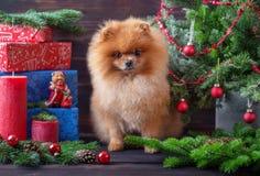 Chien de Pomeranian dans le chapeau de Noël avec des décorations de Noël sur le fond en bois foncé L'année du chien Chien de nouv Image stock