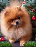 Chien de Pomeranian dans le chapeau de Noël avec des décorations de Noël sur le fond en bois foncé L'année du chien Chien de nouv Photographie stock