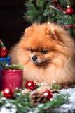 Chien de Pomeranian dans le chapeau de Noël avec des décorations de Noël sur le fond en bois foncé L'année du chien Chien de nouv Images stock