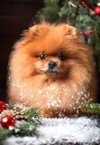 Chien de Pomeranian dans le chapeau de Noël avec des décorations de Noël sur le fond en bois foncé L'année du chien Chien de nouv Images libres de droits