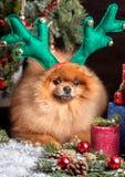 Chien de Pomeranian dans le chapeau de Noël avec des décorations de Noël sur le fond en bois foncé L'année du chien Chien de nouv Photographie stock libre de droits