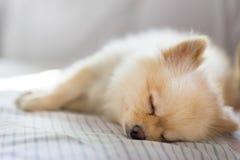 Chien de Pomeranian dormant sur le sofa, avec l'espace de copie Photo libre de droits