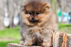 Chien de Pomeranian en parc Le chien se repose sur un arbre Images stock