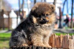 Chien de Pomeranian en parc Le chien se repose sur un arbre Images libres de droits