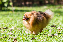 Chien de Pomeranian fonctionnant sur l'herbe verte dans le jardin Photo libre de droits