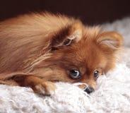 Chien de Pomeranian se couchant et regardant l'appareil-photo Photos libres de droits