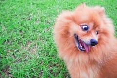 Chien de Pomeranian se reposant sur le visage drôle d'herbe verte photographie stock