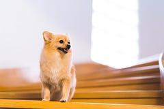 Chien de Pomeranian sur l'escalier regardant vers le haut pour copier l'espace Photos libres de droits