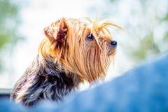 Chien de portrait de la race Yorkshire Terrier dans la fin de profil vers le haut du _ photos libres de droits