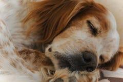 Chien de poseur de sommeil Photos libres de droits