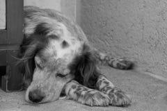 Chien de poseur de sommeil en noir et blanc Image stock