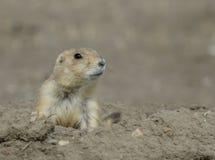 Chien de prairie émergeant de son trou Image libre de droits