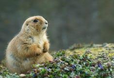 Chien de prairie Photographie stock libre de droits
