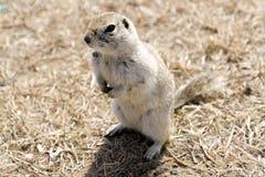 Chien de prairie Photo libre de droits