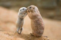 Chien de prairie adulte (genre cynomys) et un bébé partageant leur foo Photographie stock libre de droits