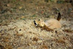 Chien de prairie avec les dents larges d'expositions de yeux Photos libres de droits