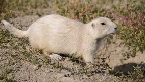 Chien de prairie blanc Photographie stock libre de droits
