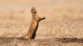 Chien de prairie d'écorcement Images libres de droits