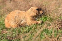 Chien de prairie dans un domaine Photographie stock