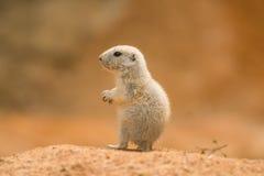 Chien de prairie de bébé Photographie stock libre de droits