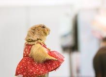 Chien de prairie de plan rapproché avec la robe rouge dans la foire brouillée d'animal Photographie stock