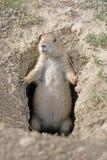 Chien de prairie gardant son trou Photos libres de droits