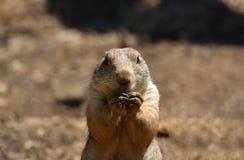 Chien de prairie/marmotte photographie stock
