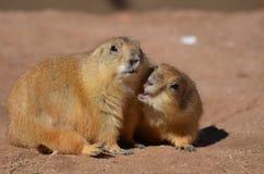 Chien de prairie mignon pinçant à son ami Photographie stock